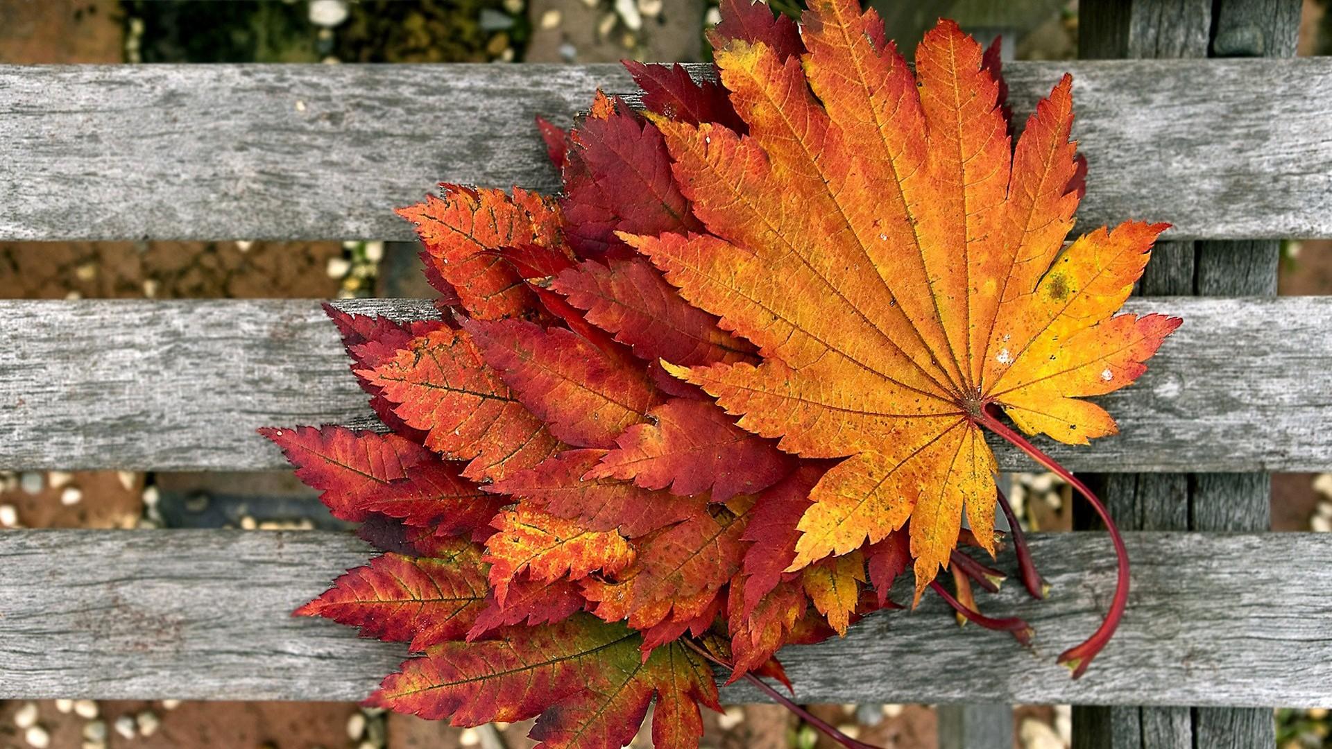 برگ های زرددرختان پاییزی